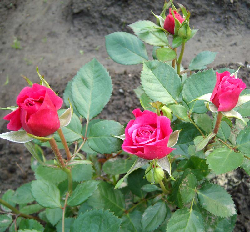 Роза Равель (Ravel) саженцы