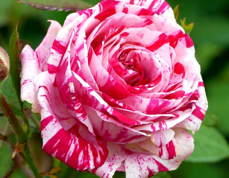Роза Сатин (Satin) чайно-гибридная