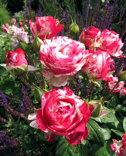 Роза Сатин (Satin) саженцы