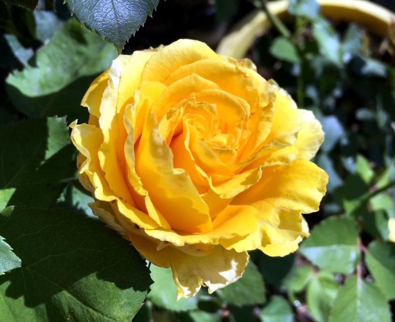 Роза Сфинкс (Sphinx) чайно-гибридная