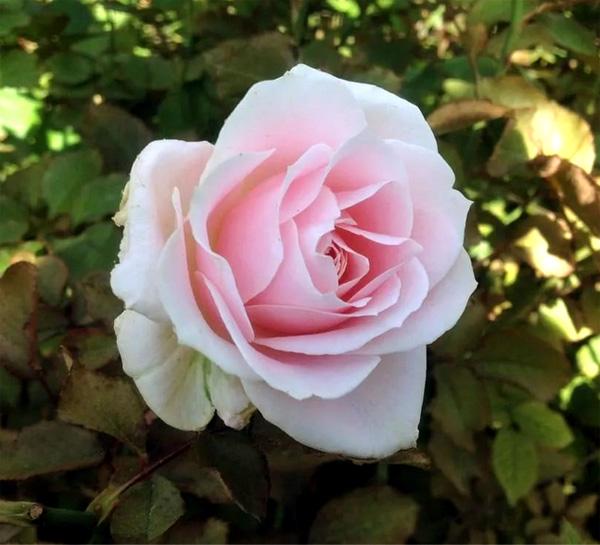 Роза Свит Аваланж (Sweet Avalanche)