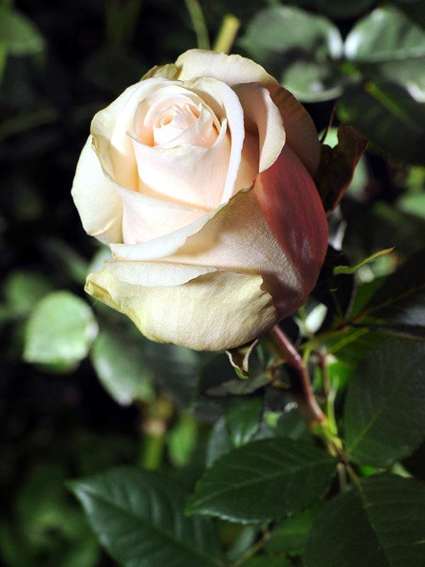 Роза Талея (Talea, Талеа) чайно-гибридная