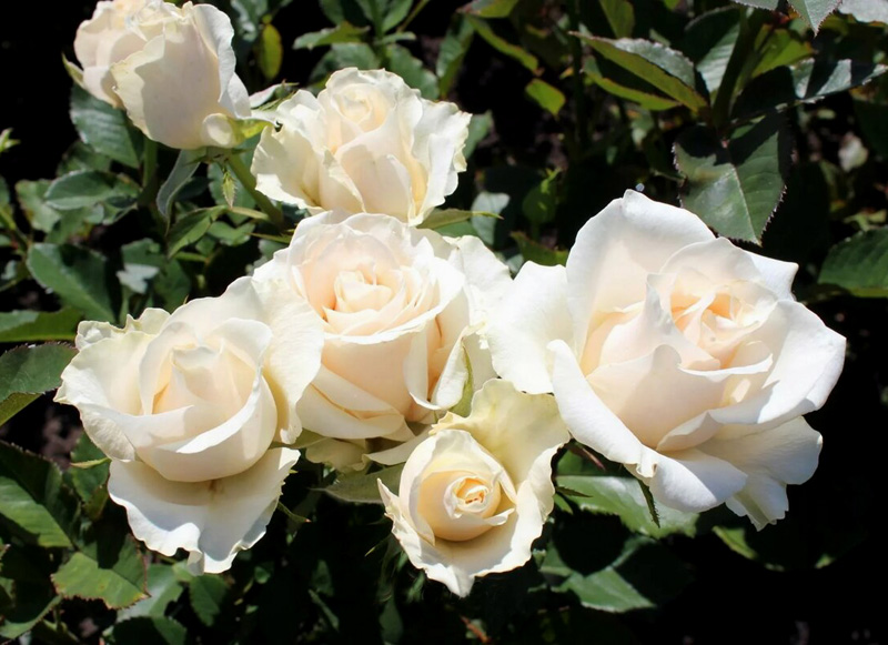 Роза Талея (Talea) саженцы