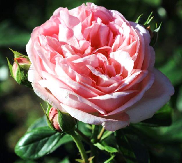 Роза Вояж (Voyage) чайно-гибридная