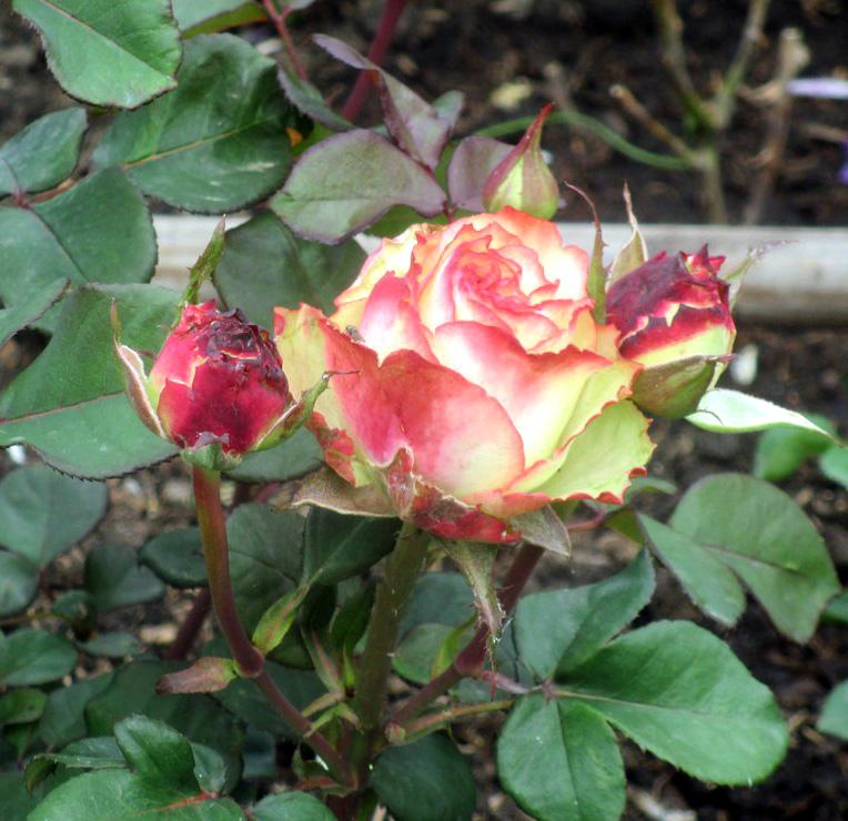 Роза Зазу саженцы чайно-гибридная