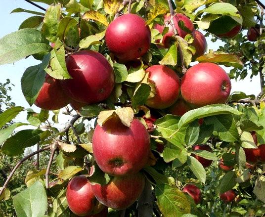 Яблоня Поспех саженцы