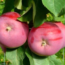 Яблоня колоновидная СОЛО