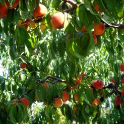Персик Вавиловский саженцы