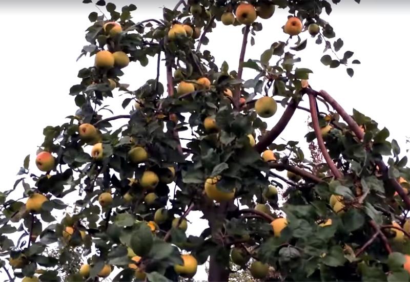 Яблоня Коштеля (Каштель, Каштеля) саженцы