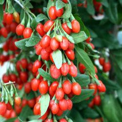 Годжи ягода (дереза)