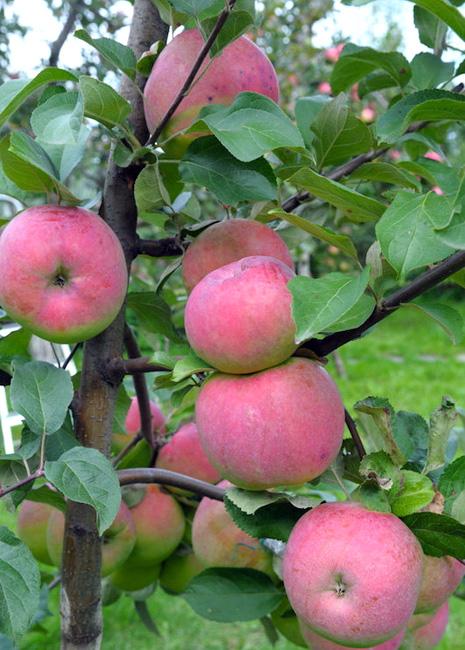 Яблоня Брянское саженцы