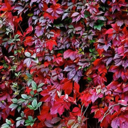 Девичий виноград Красная стена (Troki) купить
