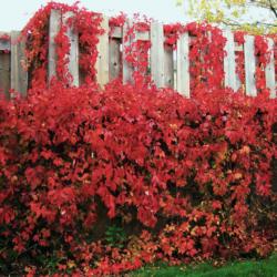 Девичий виноград Красная стена (Troki) саженцы
