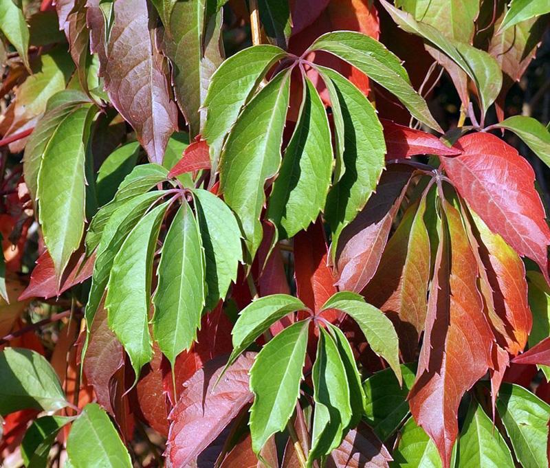 Девичий виноград Красная стена (Troki)