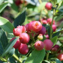 Голубика высокорослая Пинк Блюберри (розовая Pink Blueberry)