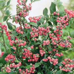 Голубика высокорослая Пинк Блюберри (розовая Pink Blueberry) саженцы
