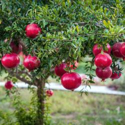 Гранат Рубиново-красный уличный саженцы