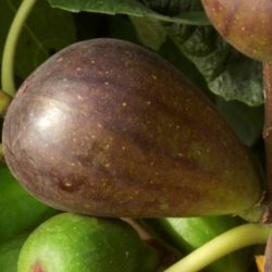 Инжир Браун Туркей (Brown Turkey, Турецкий коричневый)