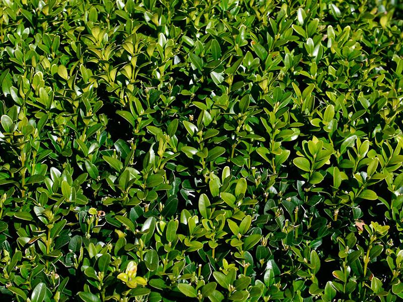 Самшит вечнозеленый купить