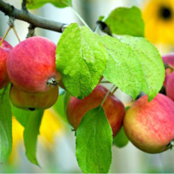 Яблоня Алтайское бархатное
