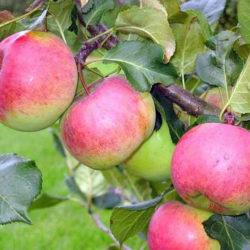 Яблоня Ауксис саженцы