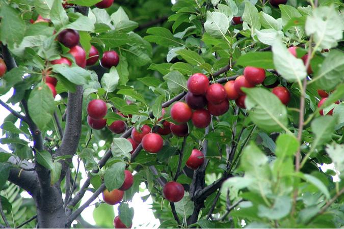 Сливово вишневый гибрид Бета саженцы