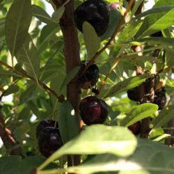 Сливово вишневый гибрид Омская ночка саженцы