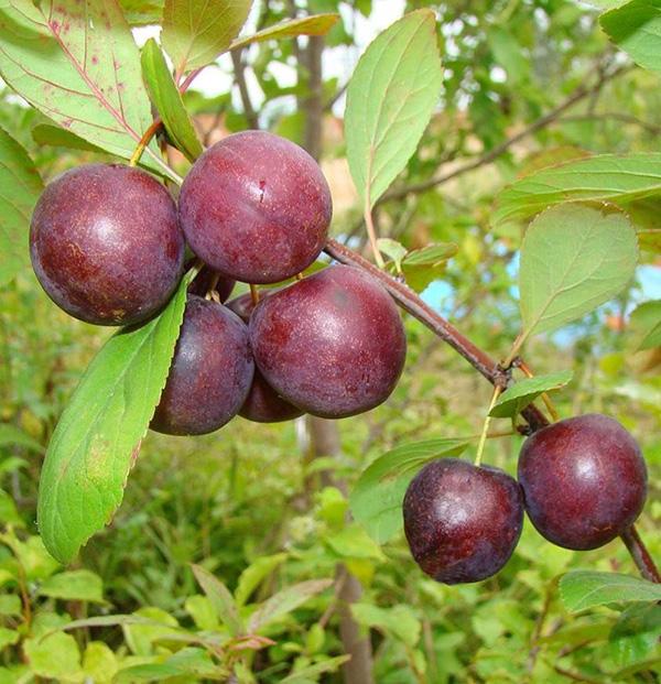 Сливово вишневый гибрид Опата