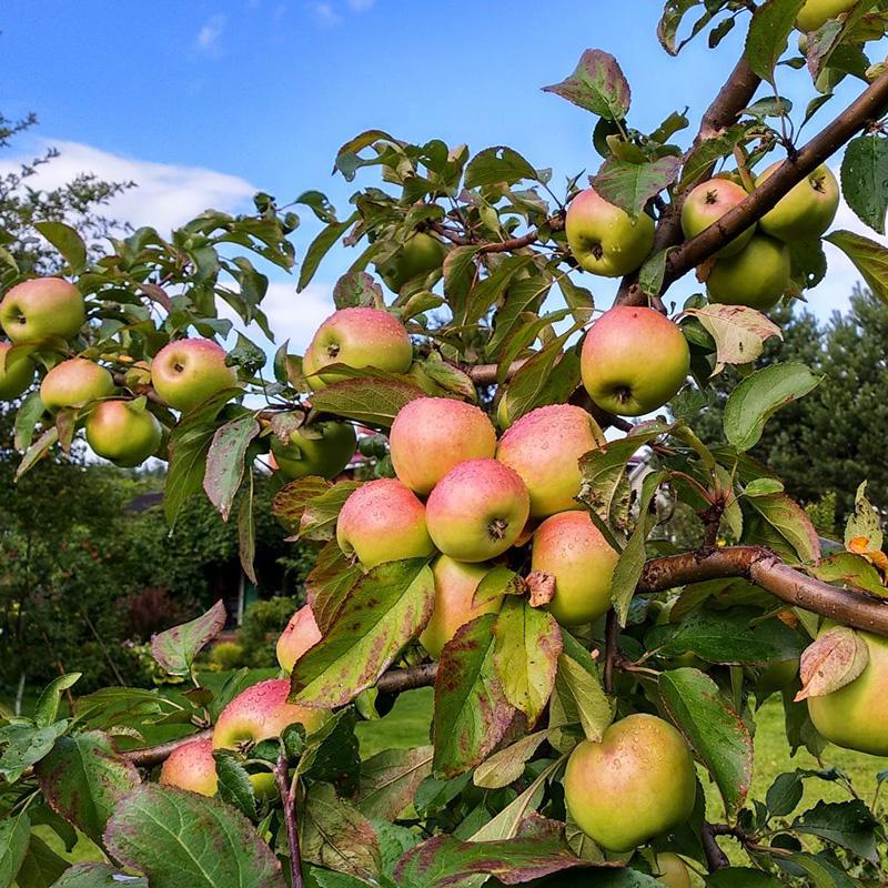 Яблоня Чудное (карликовая) саженцы