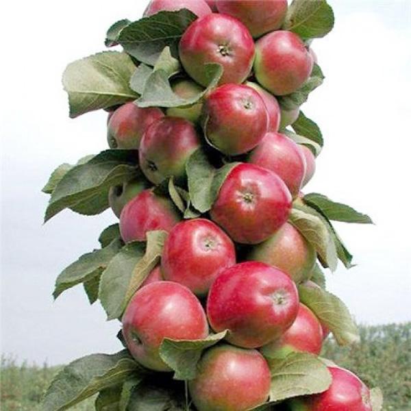 Яблоня колоновидная КВ 17