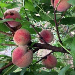 Персик (нектарин) Эритрокарпа красномясый саженцы