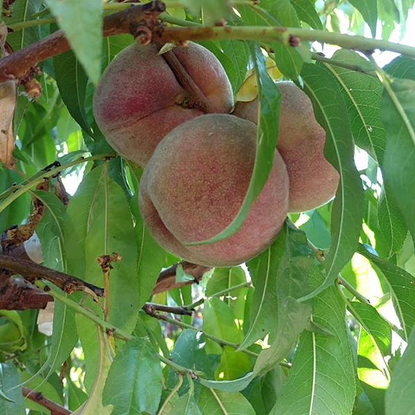 Персик (нектарин) Эритрокарпа красномясый