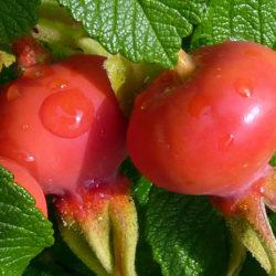 Шиповник Яблочный саженцы