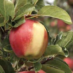 Яблоня Амброзия