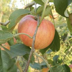 Яблоня Арива