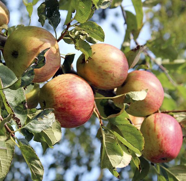 Яблоня Арива купить