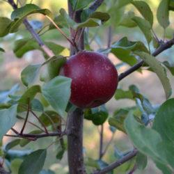 Яблоня Байя Мариса (Baya Marisa - красномясая)