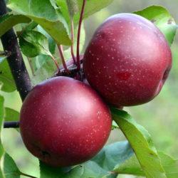 Яблоня Байя Мариса (Baya Marisa - красномясая) саженцы
