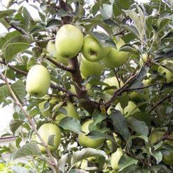 Яблоня Белый Синап саженцы
