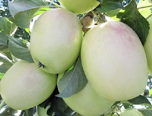 Яблоня Белый Синап