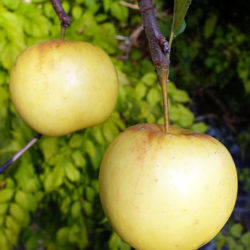 Яблоня Богемия Голд саженцы