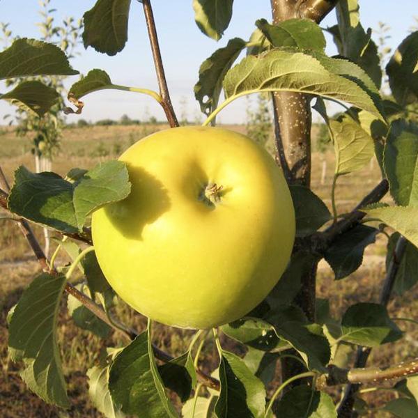 Яблоня Богемия Голд