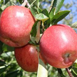 Новинки плодовых саженцев