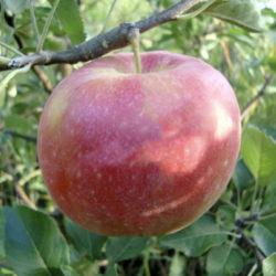Яблоня Лиред