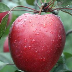 Яблоня Одиссо (красномясая)
