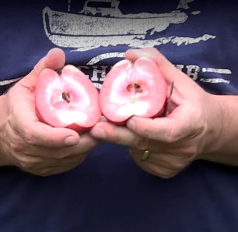 Яблоня Одиссо (красномясая) купить