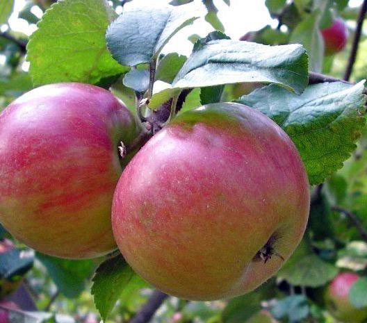 Яблоня Приземленное (карликовая)
