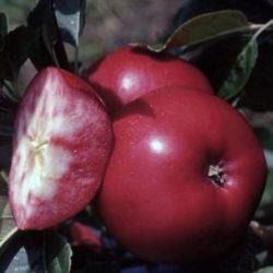 Яблоня красномясая