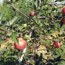 Яблоня Топаз саженцы