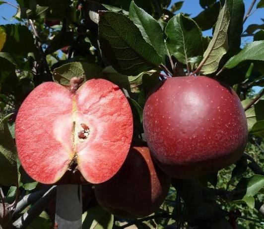 Яблоня Тринити (красномясая)